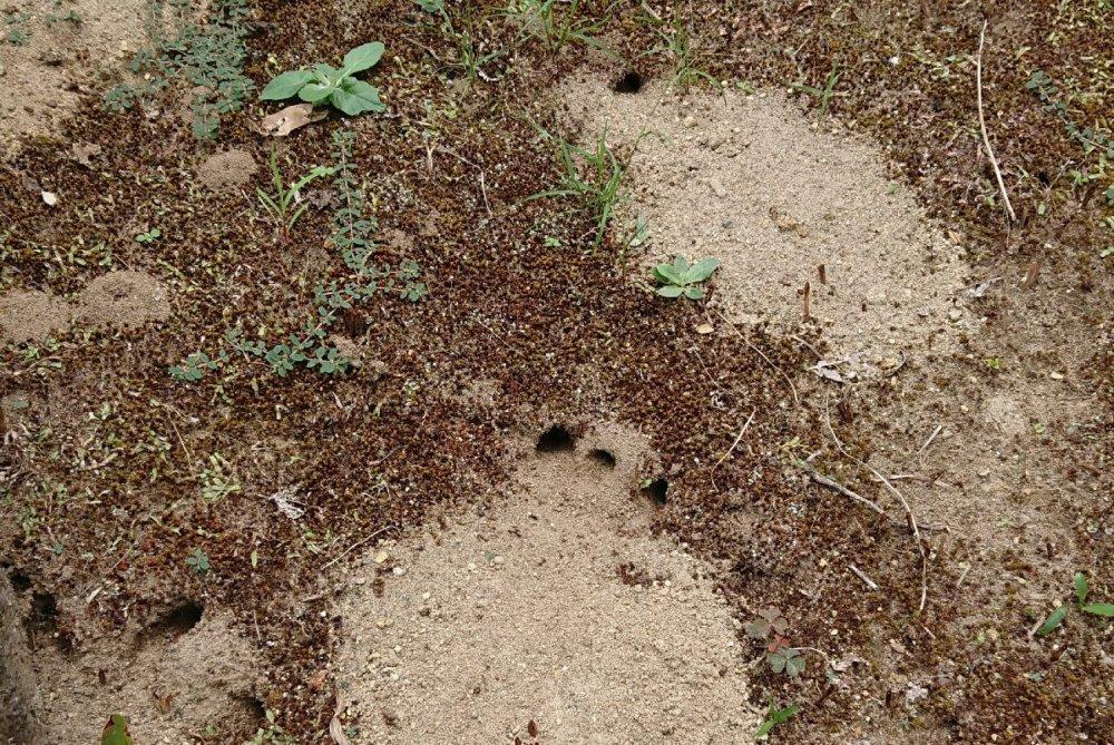 アナバチの巣