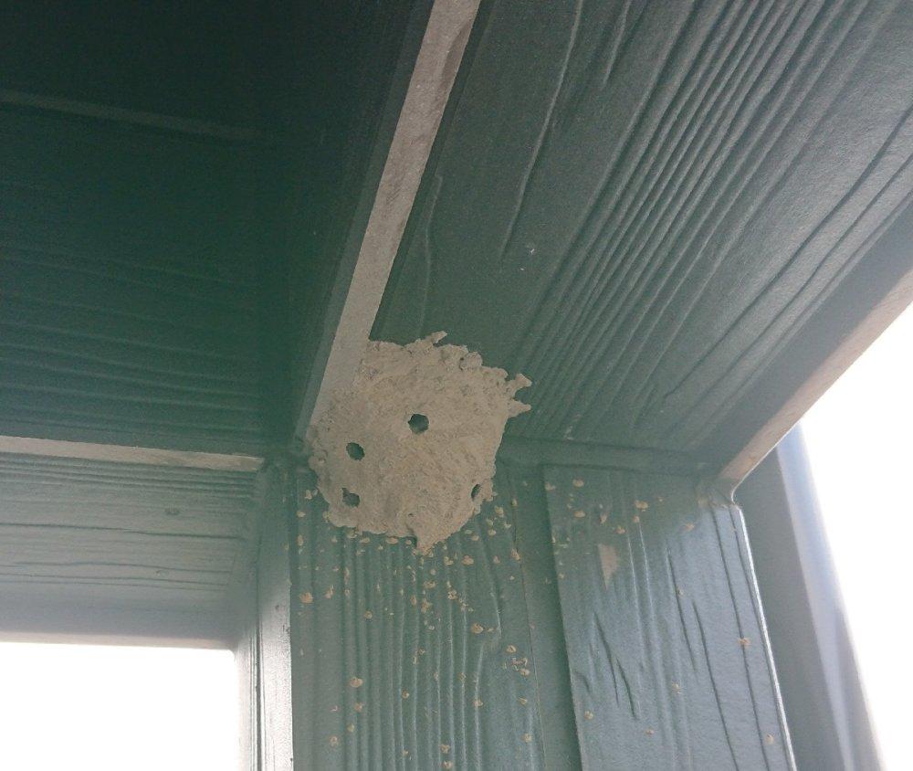 ドロバチの巣から羽化したあと